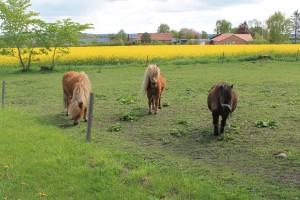 Tre nysgerrige ponyer, som meget gerne ville fotograferes til avisen
