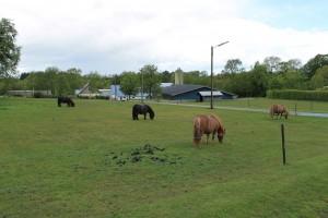 I og omkring Guldbæk er der mange heste og ponyer - her er det en lille ponyflok på en mark midt i landsbyen