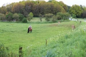 Guldbæk omgives af skøn natur - og her er endnu to ponyer på græs sammen med to små føl