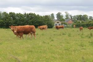 Køerne trives på marken i Veggerby